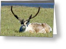 Caribou Resting In Tundra Grass Greeting Card