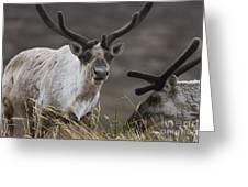 Caribou Greeting Card