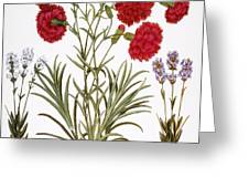 Carnation & Lavender, 1613 Greeting Card