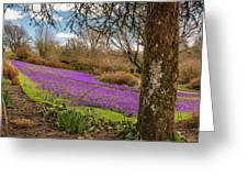 Carpet Of Purple Crocus Greeting Card