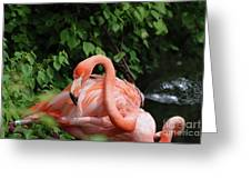 Carribean Flamingo Bird Ruffling His Feathers Greeting Card