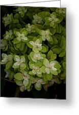 Cascading White Blossoms 3 Greeting Card