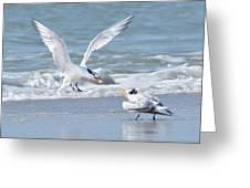 Caspian Tern Feeding Young Greeting Card