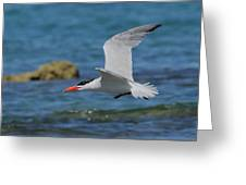 Caspian Tern Greeting Card by Tony Brown
