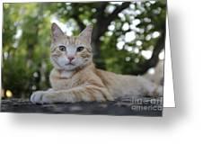 Cat Volterra Italy Greeting Card
