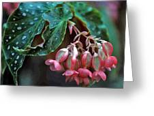 Cat's Paw Begonia Greeting Card