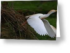 Cattle Egret Begins Flight With Nest Materials - Digitalart Greeting Card