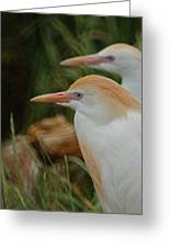 Cattle Egrets Dry Brushed Greeting Card