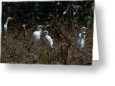 Cattle Egrets In A Pasture Greeting Card