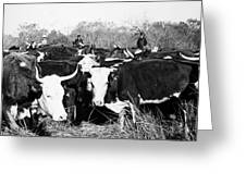Cattle: Longhorns Greeting Card