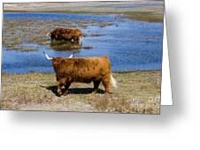 Cattle Scottish Highlanders, Zuid Kennemerland, Netherlands Greeting Card
