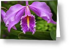 Cattleya Purpurata Greeting Card