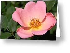 Cedar Key Rosa Canina Greeting Card