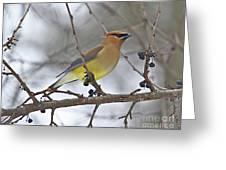 Cedar Wax Wing-2 Greeting Card
