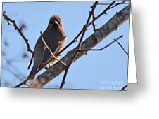 Cedar Wax Wing On The Lookout Greeting Card