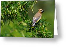 Cedar Waxwing #1 Greeting Card