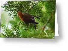 Cedar Waxwing Beauties 1 Greeting Card