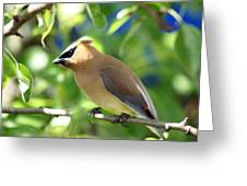 Cedar Waxwing Curiosity Greeting Card
