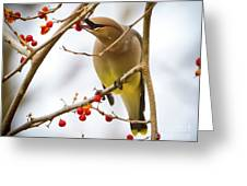 Cedar Waxwing Feeding  Greeting Card
