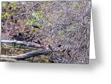 Cedar Waxwings Feeding 2 Greeting Card