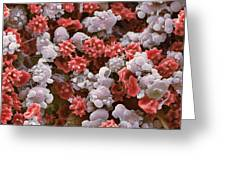 Cells From A Urine Infection, Sem Greeting Card