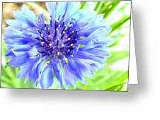 Centaurea Cyanus 1 Greeting Card
