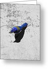 Center Of Attention- Scrub Jay Greeting Card