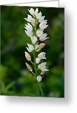 Cephalanthera Longifolia Greeting Card