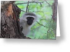 Chacma Baboon Greeting Card