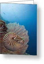 Chambered Nautilus Greeting Card by Dave Fleetham - Printscapes