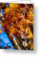 Changing Maples Greeting Card