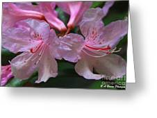 Chapmans Rhododendron Greeting Card