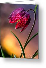 Checkered Lily Greeting Card