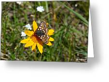 Checkerspot On Bahai Aster 2 Greeting Card