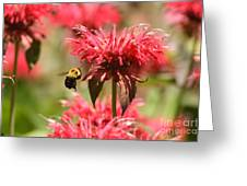 Checking The Bee Balm  Greeting Card