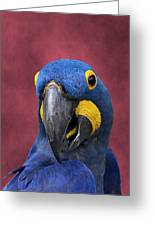 Cheeky Macaw Greeting Card