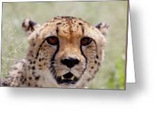 Cheetah No.1 Greeting Card