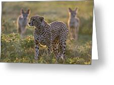 Cheetah Acinonyx Jubatus And Jackals Greeting Card