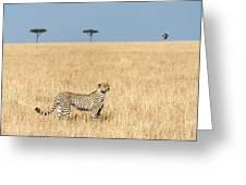 Cheetah Acinonyx Jubatus In Plains Greeting Card