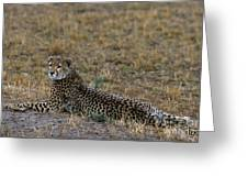 Cheetah At Rest Greeting Card