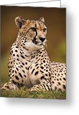 Cheetah Beauty Greeting Card