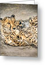 Cheetah Lounge Cats Greeting Card