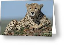 Cheetah On Mound Greeting Card