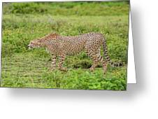Cheetah On The Prowl Greeting Card
