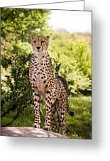 Cheetah Overlook Greeting Card