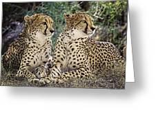Cheetah Pair Greeting Card