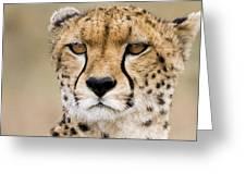 Cheetah Portait Greeting Card