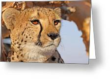 Cheetah Portrait Greeting Card