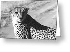 Cheetah Pose Greeting Card