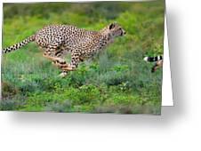 Cheetahs Acinonyx Jubatus Hunting Greeting Card